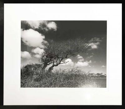 gunn-tree-swept-400x348 Ander Gunn Boswedden